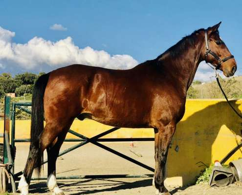 Horse for sale Estepona