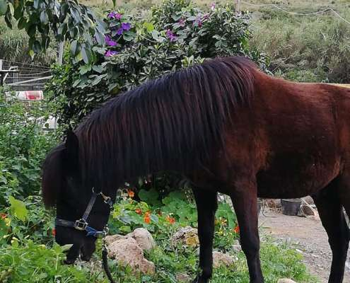 Paco the pony grazing at Ranch Siesta Los Rubios riding stables in Estepona